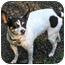 Photo 1 - Rat Terrier Dog for adoption in Portland, Oregon - Lizzie