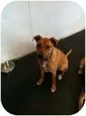 Rhodesian Ridgeback Mix Dog for adoption in Coppell, Texas - Hondo