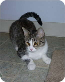 Domestic Shorthair Cat for adoption in San Diego, California - Sheila