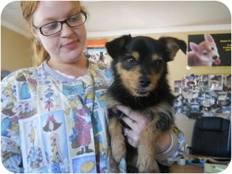 Yorkie, Yorkshire Terrier/Jack Russell Terrier Mix Dog for adoption in Anderson, Indiana - Peabody