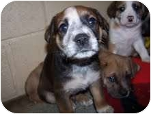 St. Bernard Mix Puppy for adoption in Cranford, New Jersey - Piper