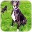 Photo 3 - Great Dane Dog for adoption in Austin, Texas - Lucie
