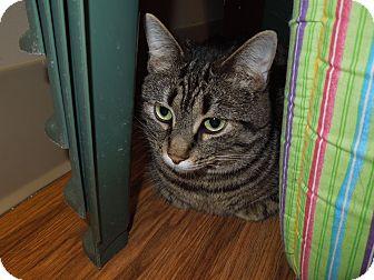 Domestic Shorthair Cat for adoption in Medina, Ohio - Lulu