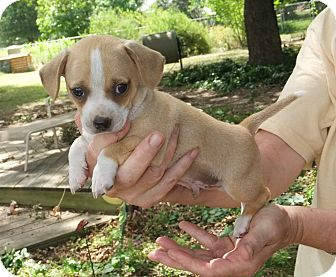 Terrier (Unknown Type, Small) Mix Puppy for adoption in Plano, Texas - George