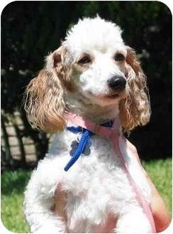 Poodle (Miniature) Dog for adoption in Melbourne, Florida - LEO 19