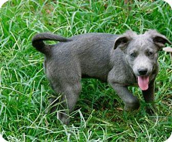 Labrador Retriever/Weimaraner Mix Puppy for adoption in Portland, Maine - Smoky