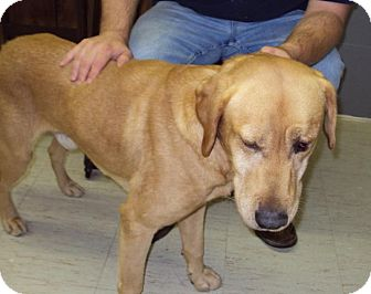 Labrador Retriever Mix Dog for adoption in Mt. Vernon, Illinois - Mel