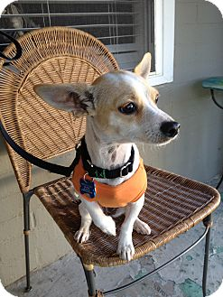 Chihuahua Mix Dog for adoption in Woodbury, New Jersey - Cissy