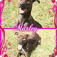 Adopt A Pet :: Marley - Tampa, FL