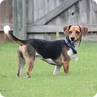 Adopt A Pet :: Benny - Knoxville, TN
