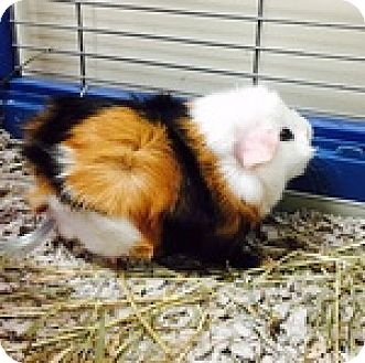 Guinea Pig for adoption in Wheaton, Illinois - JoJo