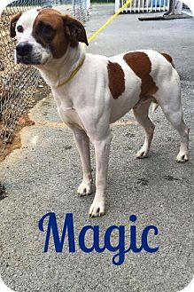 Pit Bull Terrier Mix Dog for adoption in Salisbury, North Carolina - Magic