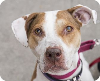 Staffordshire Bull Terrier/Hound (Unknown Type) Mix Dog for adoption in Brooklyn, New York - Tiki