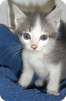 Domestic Shorthair Kitten for adoption in Knoxville, Iowa - Ice