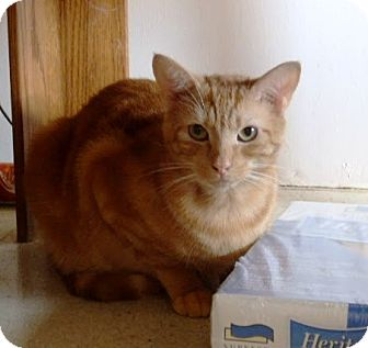 Domestic Shorthair Cat for adoption in Nolensville, Tennessee - Little Red