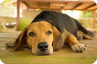 Beagle/Foxhound Mix Dog for adoption in Zephyr, Ontario - Spangle