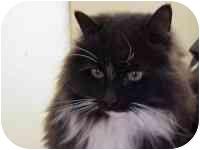 Domestic Longhair Cat for adoption in Chepachet, Rhode Island - Fluffy