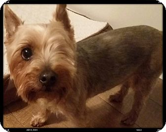 Yorkie, Yorkshire Terrier Dog for adoption in China, Michigan - Scrappy