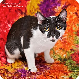 Domestic Shorthair Cat for adoption in Cincinnati, Ohio - Oreo