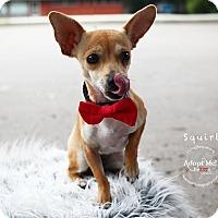 Adopt A Pet :: Squirt (female) - Shawnee Mission, KS
