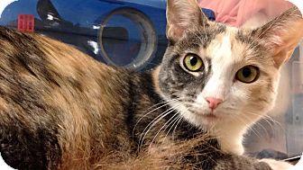 Calico Cat for adoption in Hesperia, California - Silvia