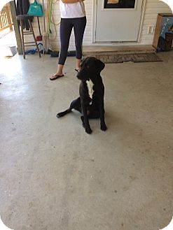 Labrador Retriever/German Shepherd Dog Mix Dog for adoption in Hohenwald, Tennessee - Rosie