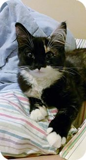 Domestic Longhair Kitten for adoption in Carlisle, Pennsylvania - Jasmine