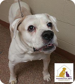 American Bulldog/Pit Bull Terrier Mix Dog for adoption in Eighty Four, Pennsylvania - Xena