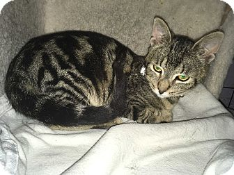Domestic Shorthair Cat for adoption in Tracy, California - Jack-ADOPTED!