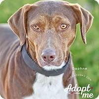 Adopt A Pet :: DAPHNE - Chandler, AZ