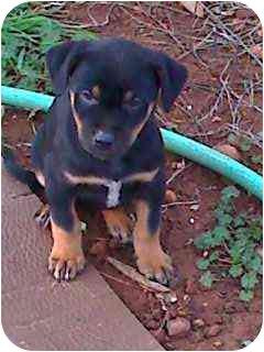 Australian Shepherd/German Shepherd Dog Mix Puppy for adoption in Penn Valley, California - Karly