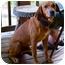 Photo 3 - Redbone Coonhound Mix Dog for adoption in Plainfield, Connecticut - Ben