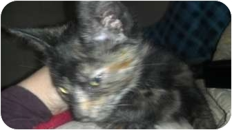 Calico Kitten for adoption in Randolph, New Jersey - Lucy, Fred & kitties
