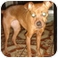 Photo 3 - Miniature Pinscher/Chihuahua Mix Dog for adoption in Lake Forest, California - Babe