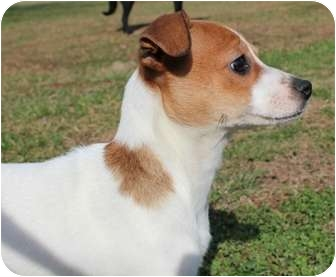 Chihuahua/Jack Russell Terrier Mix Puppy for adoption in Portland, Maine - Yahtzee
