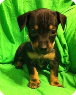 Dachshund/Chihuahua Mix Puppy for adoption in Somers, Connecticut - Baby Button - AVAILABLE!