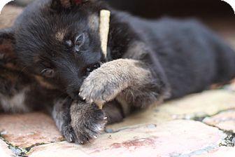 German Shepherd Dog Mix Puppy for adoption in Davie, Florida - Charlie