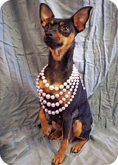Miniature Pinscher Mix Dog for adoption in Gig Harbor, Washington - Sally *New Pics*