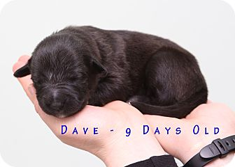 Labrador Retriever/Wirehaired Pointing Griffon Mix Puppy for adoption in Troy, Michigan - Dave