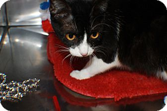 Domestic Shorthair Cat for adoption in Hibbing, Minnesota - ETTA