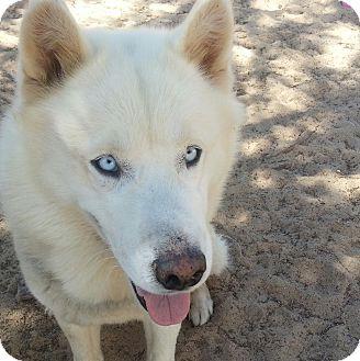 Siberian Husky Dog for adoption in Apple valley, California - Elvis