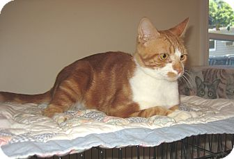 Domestic Shorthair Cat for adoption in Hamilton, New Jersey - GARFIELD - 2013