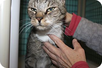 Domestic Shorthair Cat for adoption in Grass Valley, California - Jack