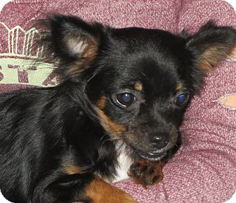 Chihuahua Puppy for adoption in Westport, Connecticut - Valentina