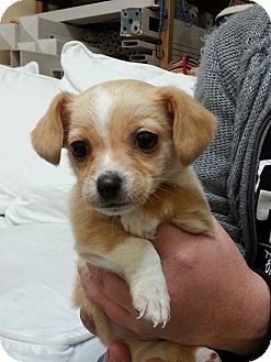 Dachshund Mix Puppy for adoption in Thousand Oaks, California - Cookie