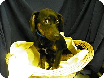 Labrador Retriever/Hound (Unknown Type) Mix Dog for adoption in Waldorf, Maryland - Cisco