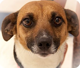 Jack Russell Terrier Mix Dog for adoption in Martinsville, Indiana - Jackie