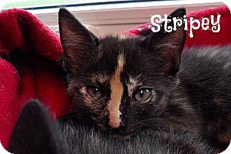 Domestic Shorthair Kitten for adoption in Anoka, Minnesota - Stripey