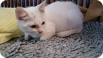 Domestic Shorthair Kitten for adoption in Grand Junction, Colorado - Sweet William