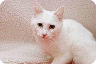 Domestic Shorthair Kitten for adoption in San Antonio, Texas - Thumbelina